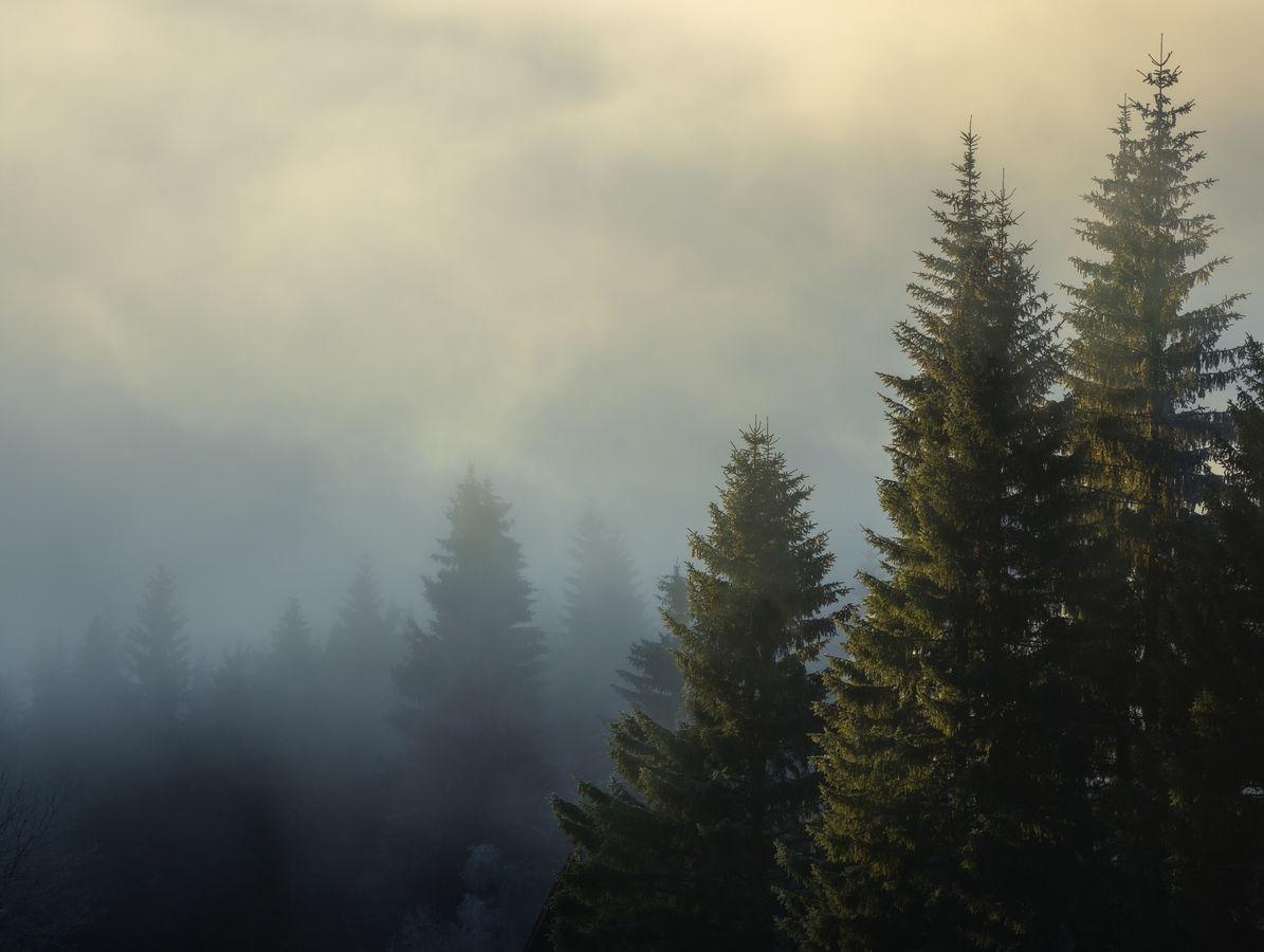 Ranní probouzení smrkového lesa