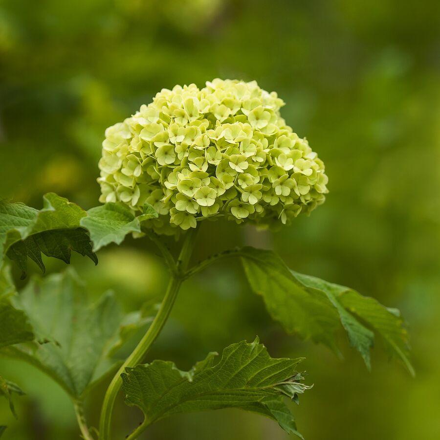 hortenzie stromkovitá