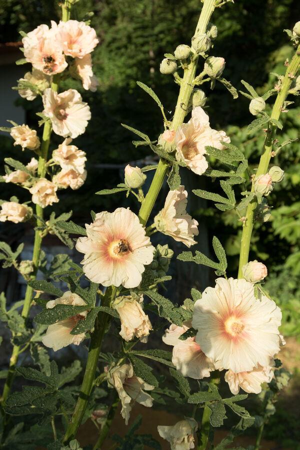 Slézová růže z Vrbčan