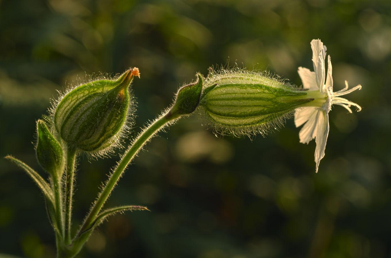 Silenka širolistá bílá (Silene latifolia)