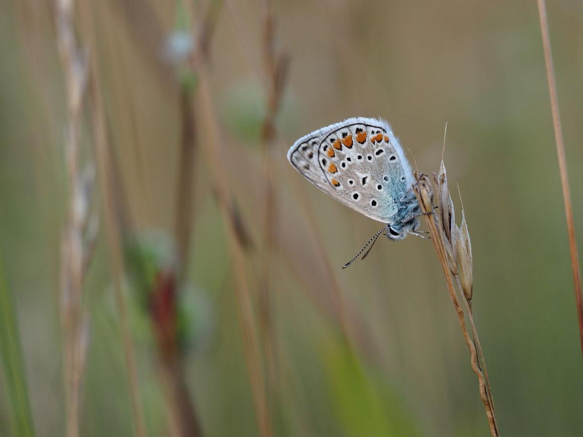 Polyommatus icarius - Modrásek jehlicový