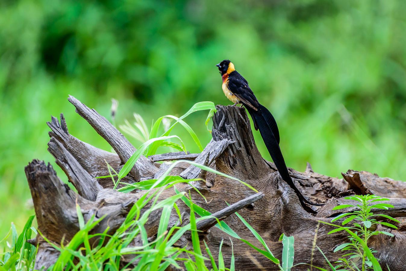 Vdovka rajská (Vidua paradisaea) - NP Kruger, Jihoafrická republika