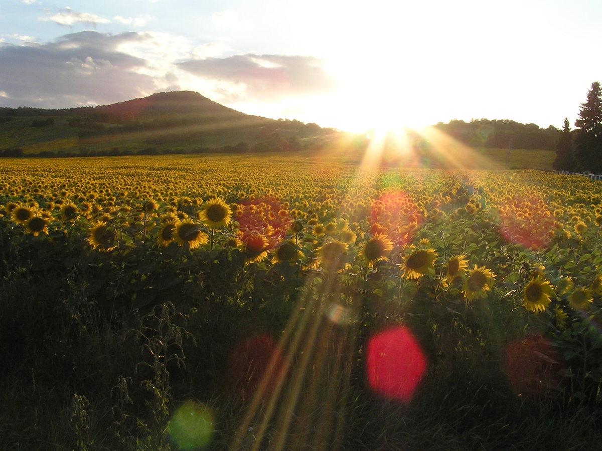 Slunce se loučí se slunečnicemi
