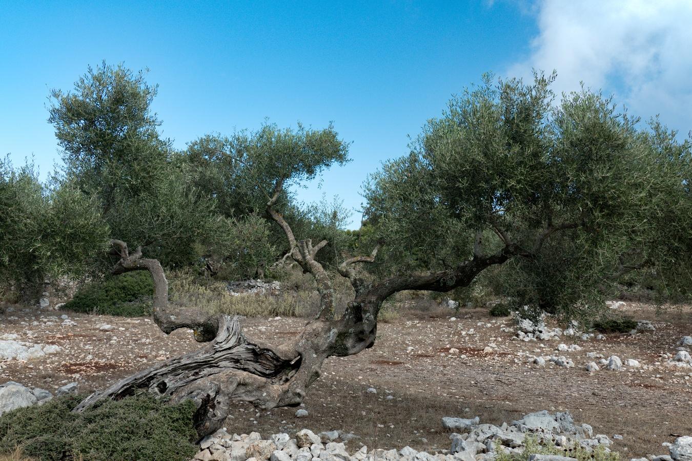Olivovník (5)