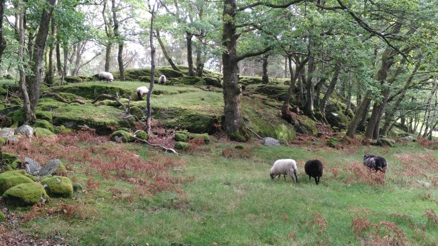 Ovce Ostrovní