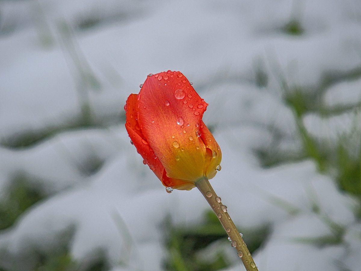 Dnešní souboj tulipánu se sněhem