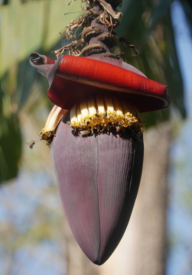 Když banán kvete