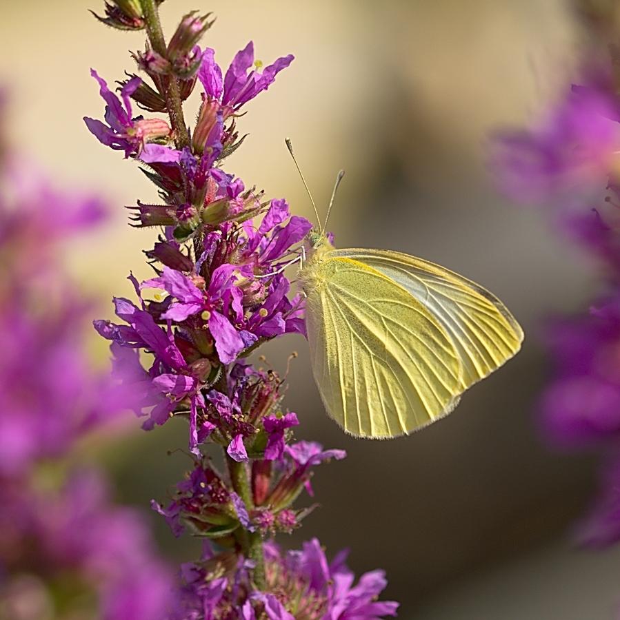 chytila jsem na palouce motýla.....