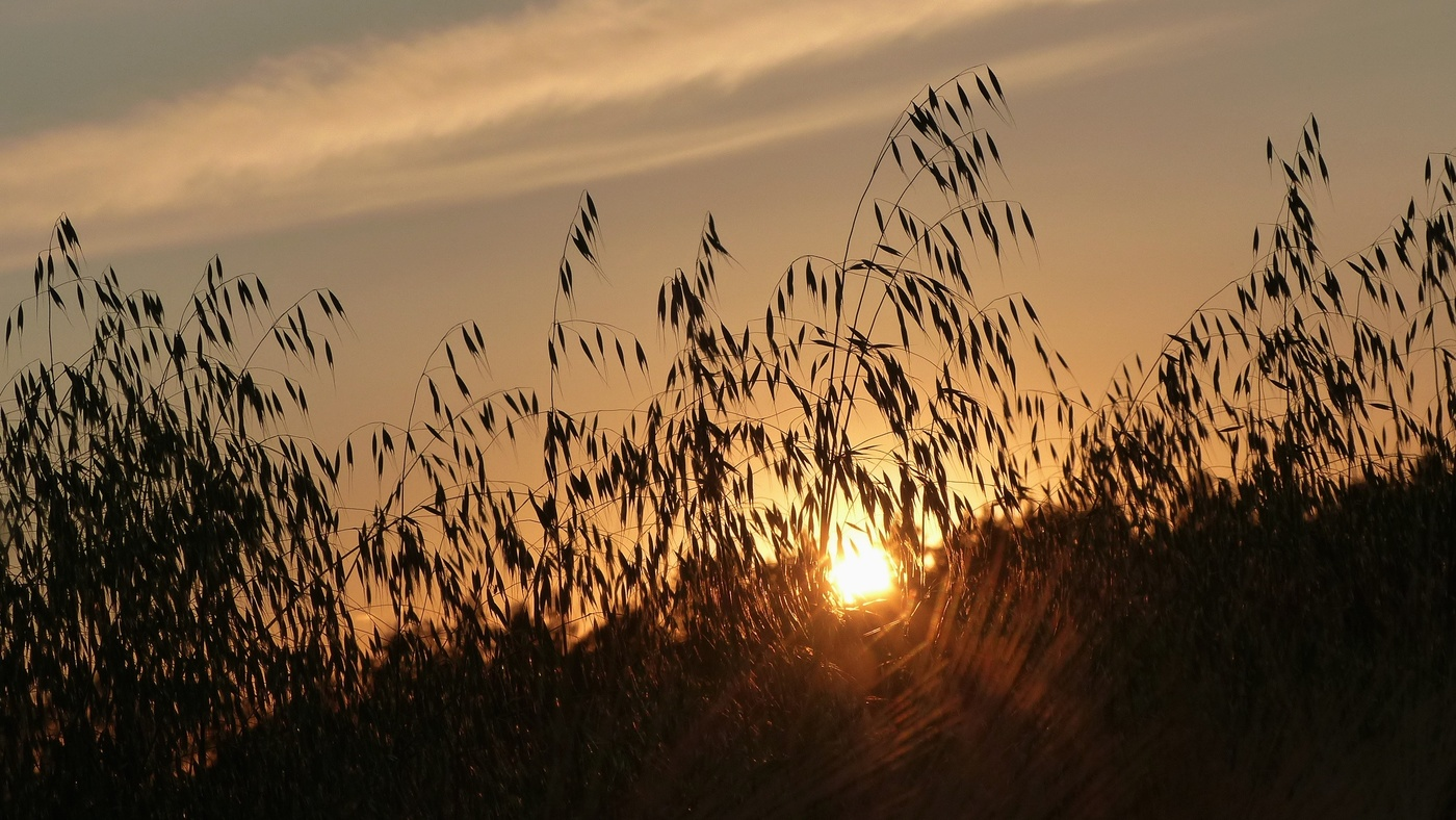 Západ slunce v obilí....