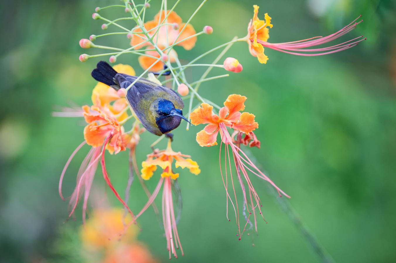 Sunbird - strdimil