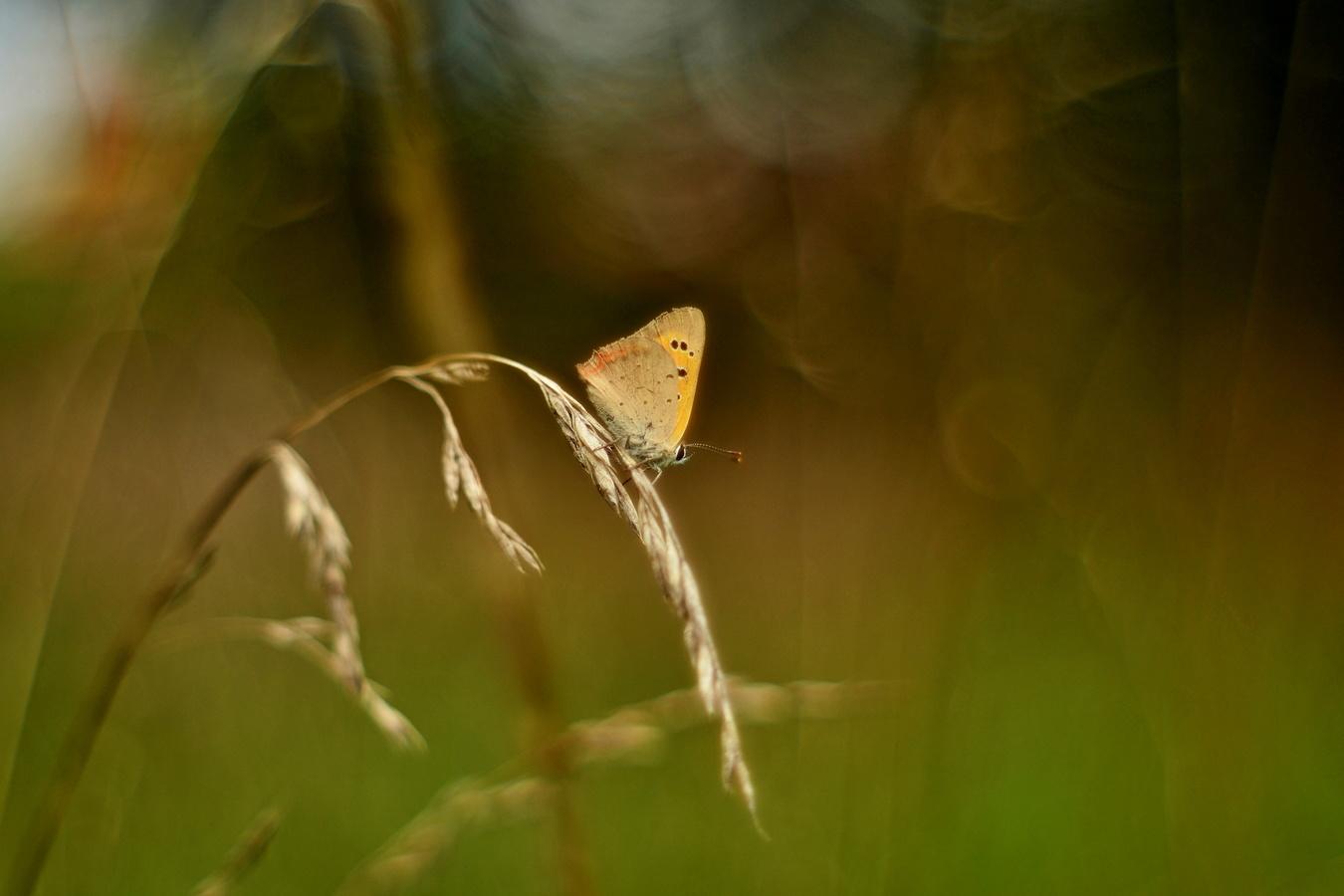 Chytila jsem na pasece motýlka...