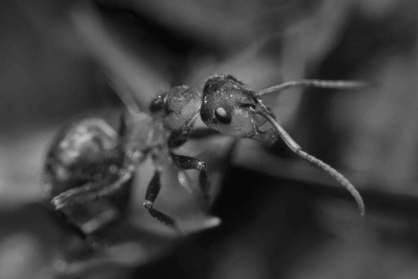 BW Ant