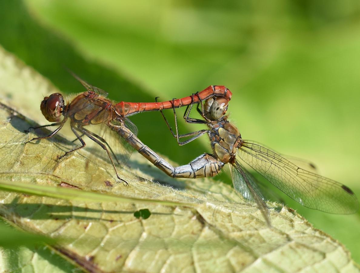 Vážky obecné