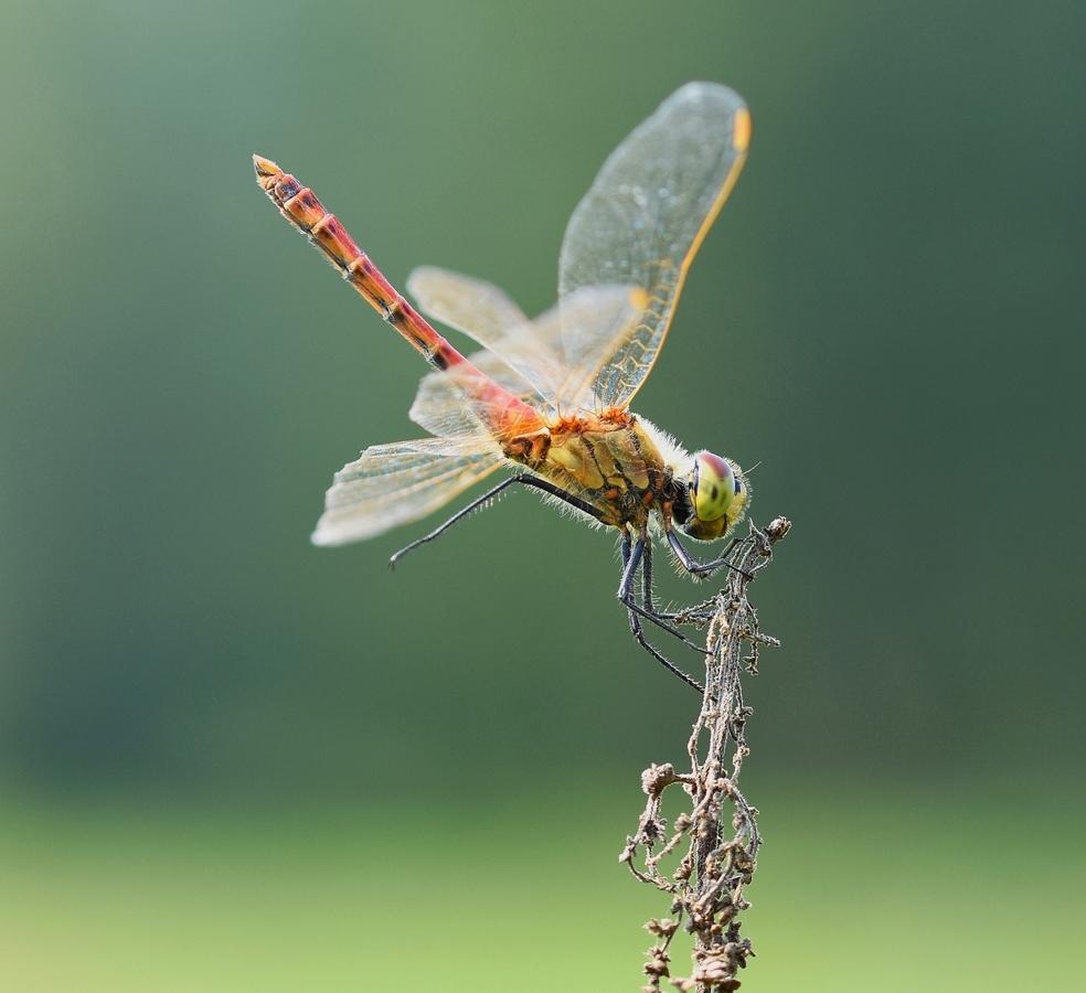 Vážka rumělková - sameček - Sympetrum depressiusculum