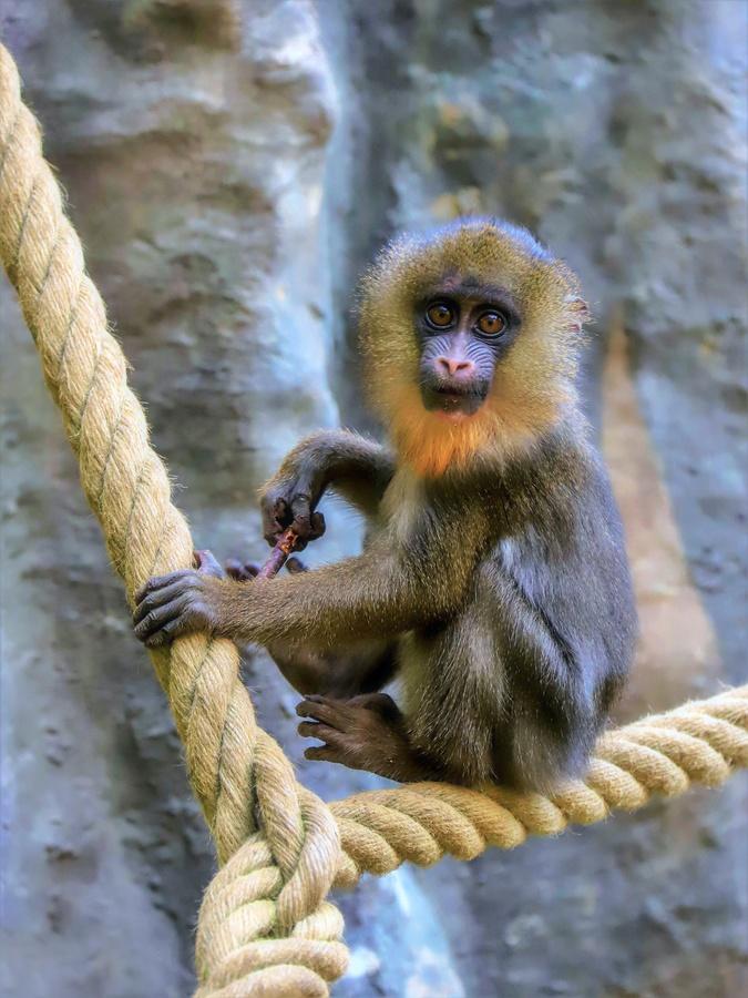 Mandril  ten nejmenší (Zoo Ostrava)
