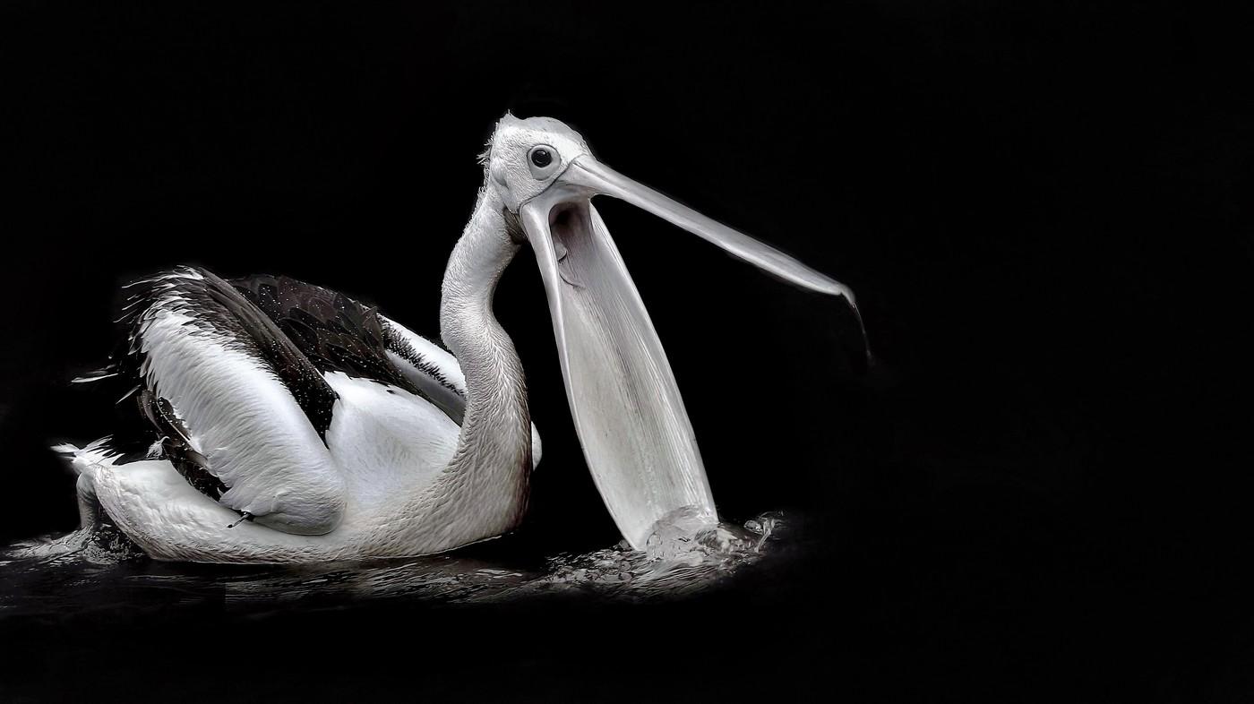Pelikán australský