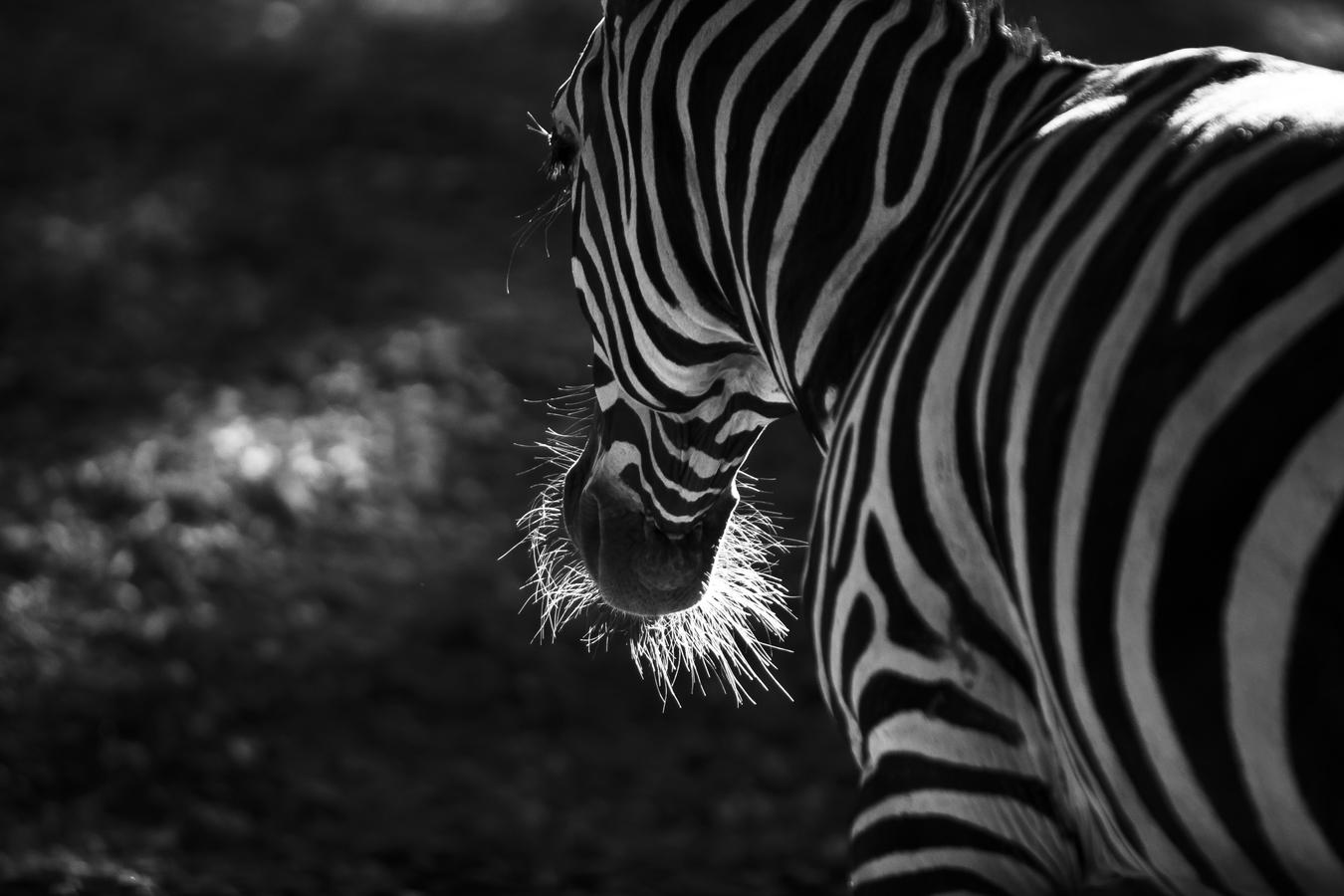 Zebra v zajetí
