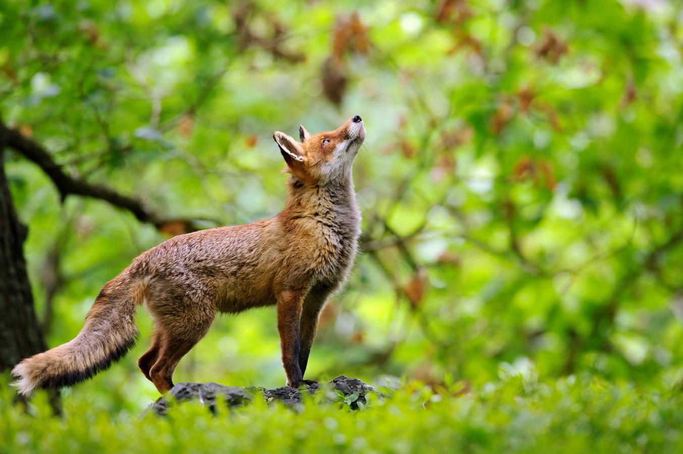 Liška v pohádkovém lese
