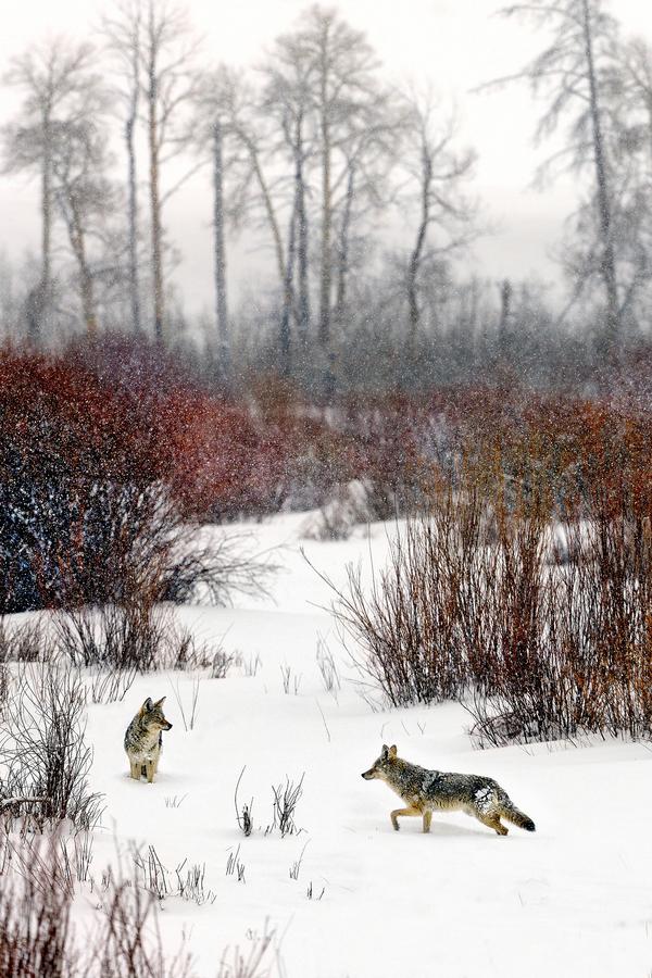 v chumelenici potkal kojot kojotici :-)
