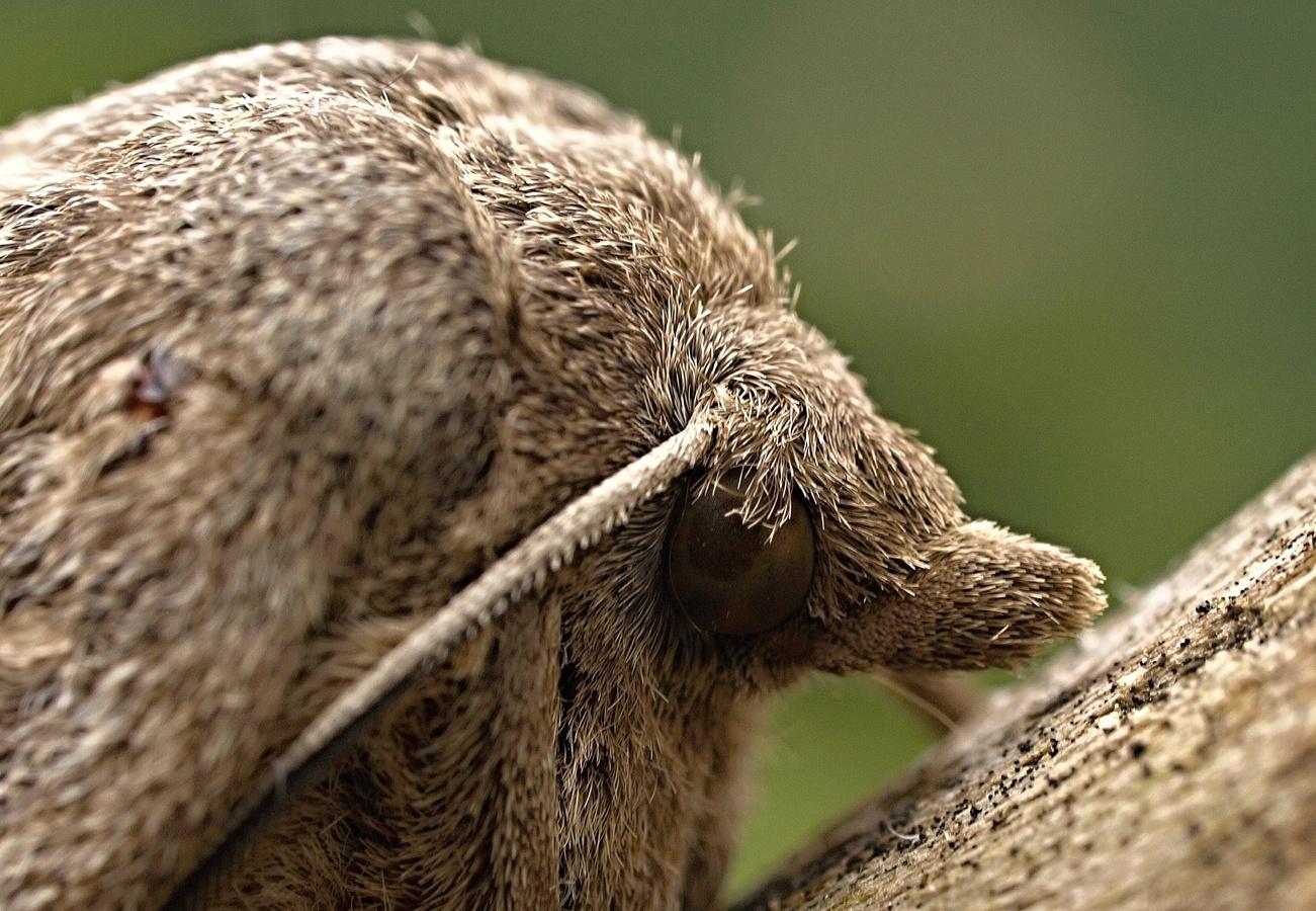 Bourovec borový