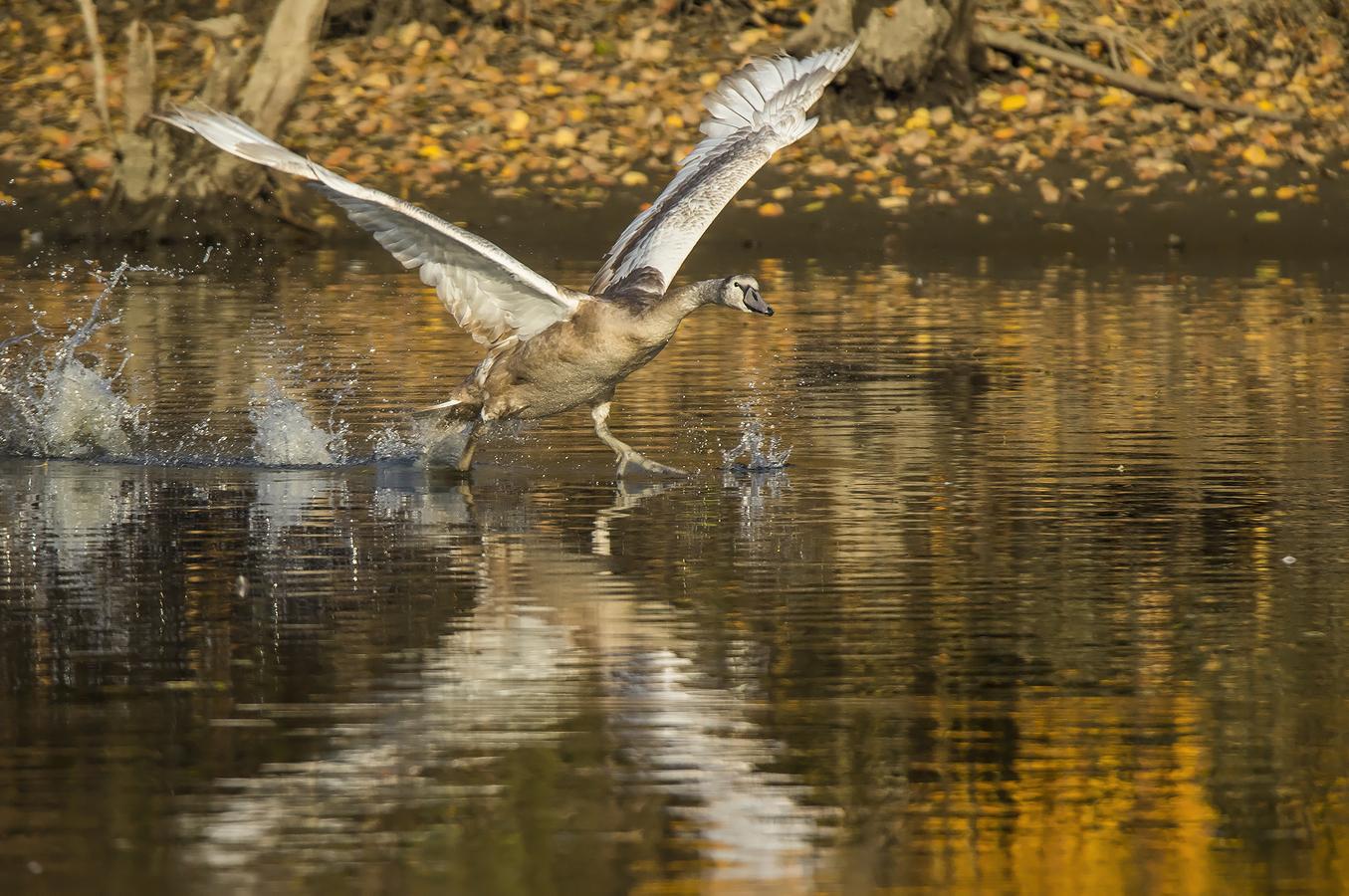 Labutí podzimní běh po hladině jedné zapadlé pískovny