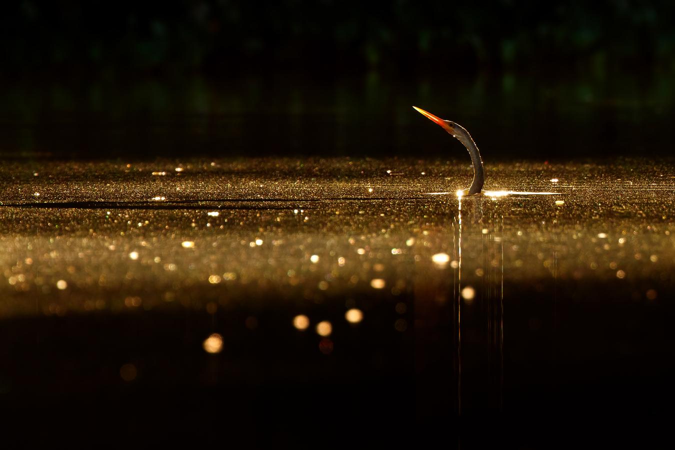 Anhinga | Pantanal