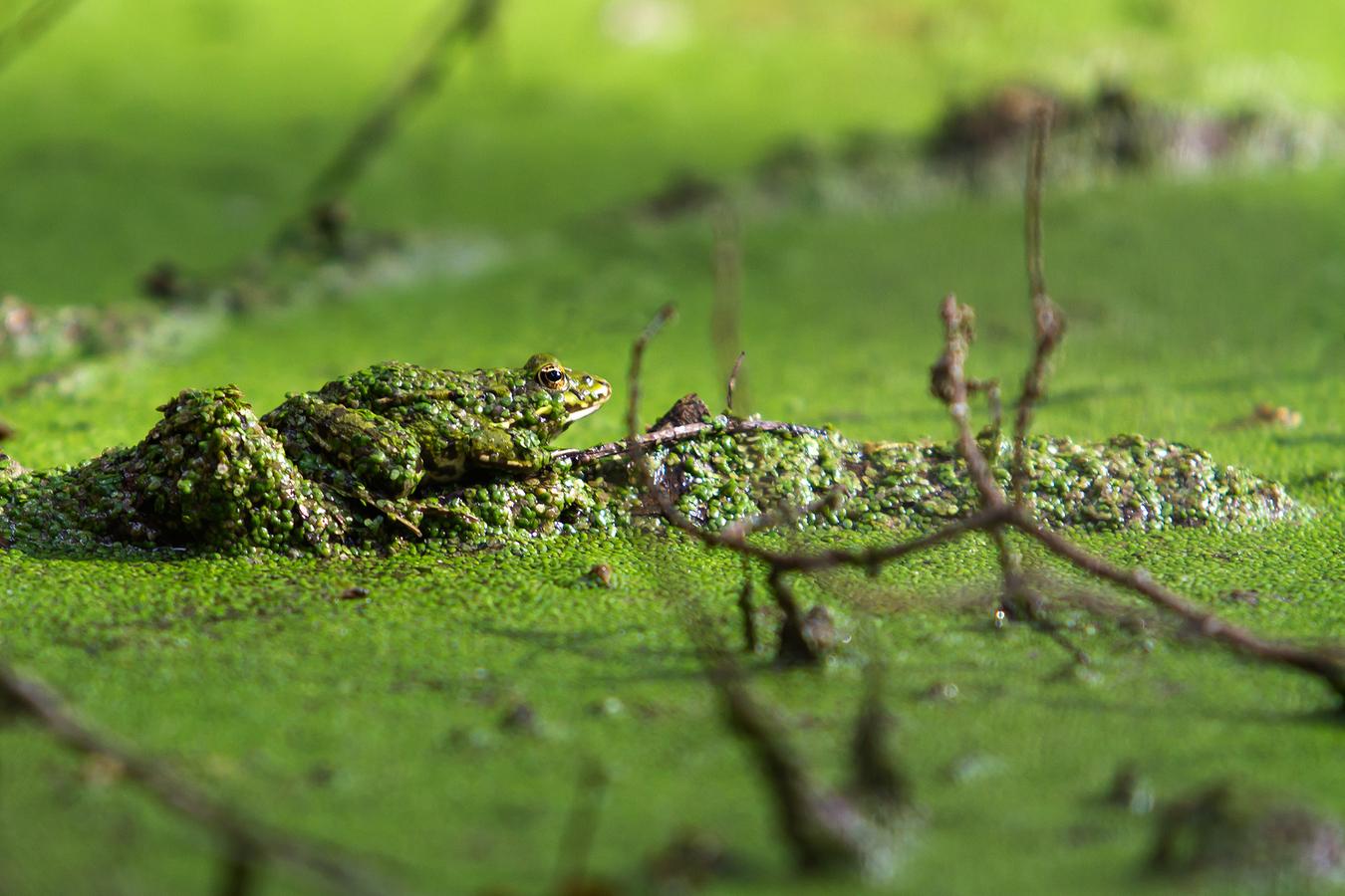 ...frog mimikry...