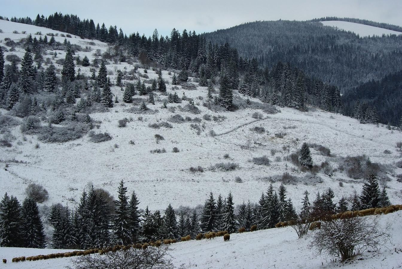 Ovečky na snehu