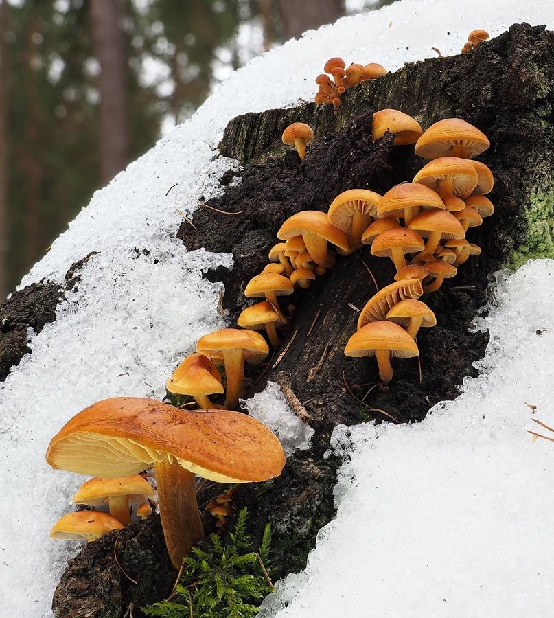 Zimní houbaření