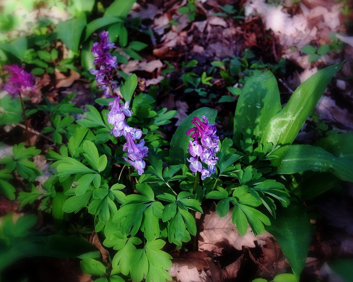 Lesné ´´ FIALKY´´- Chochlačka dutá