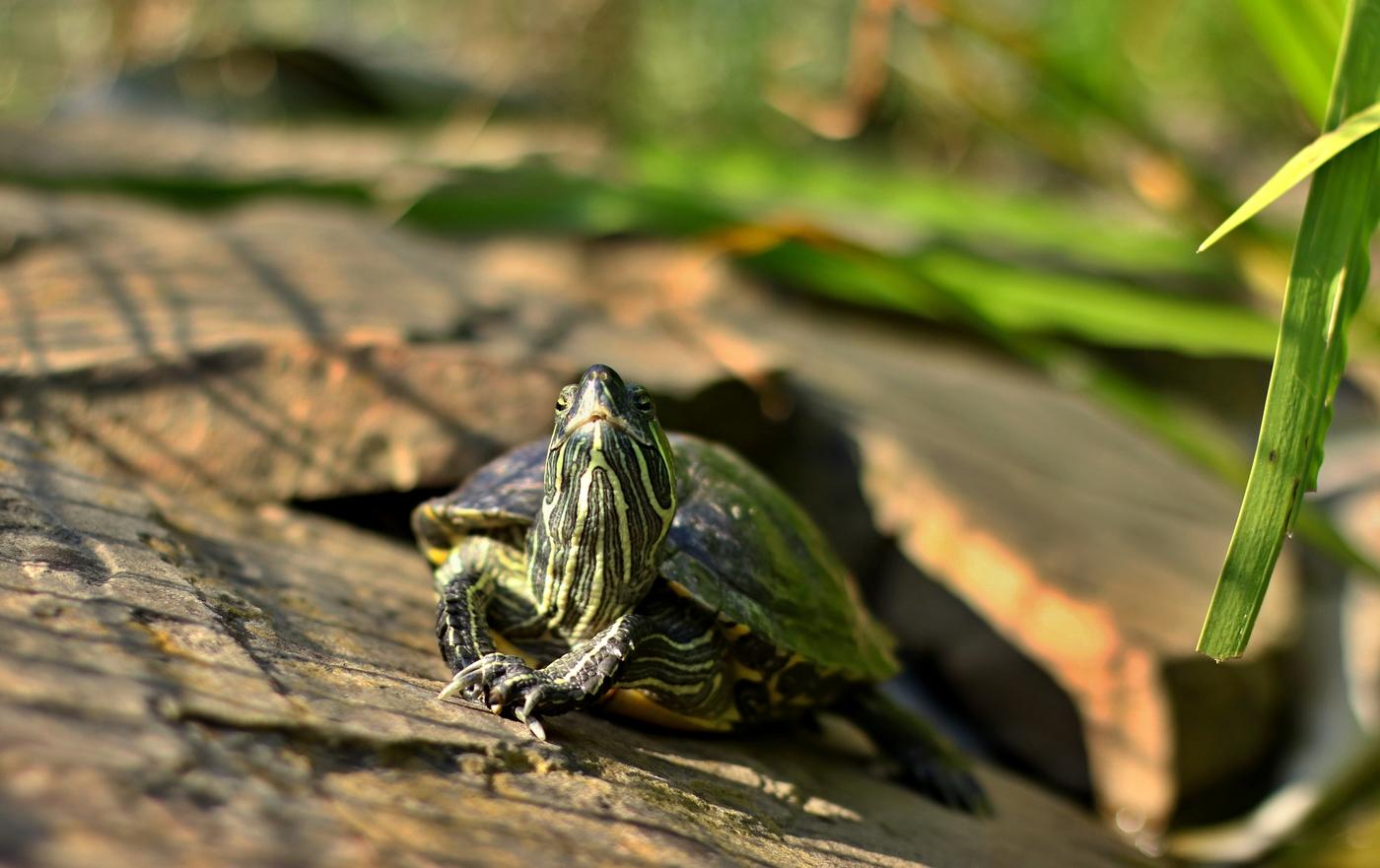 Želví modelka