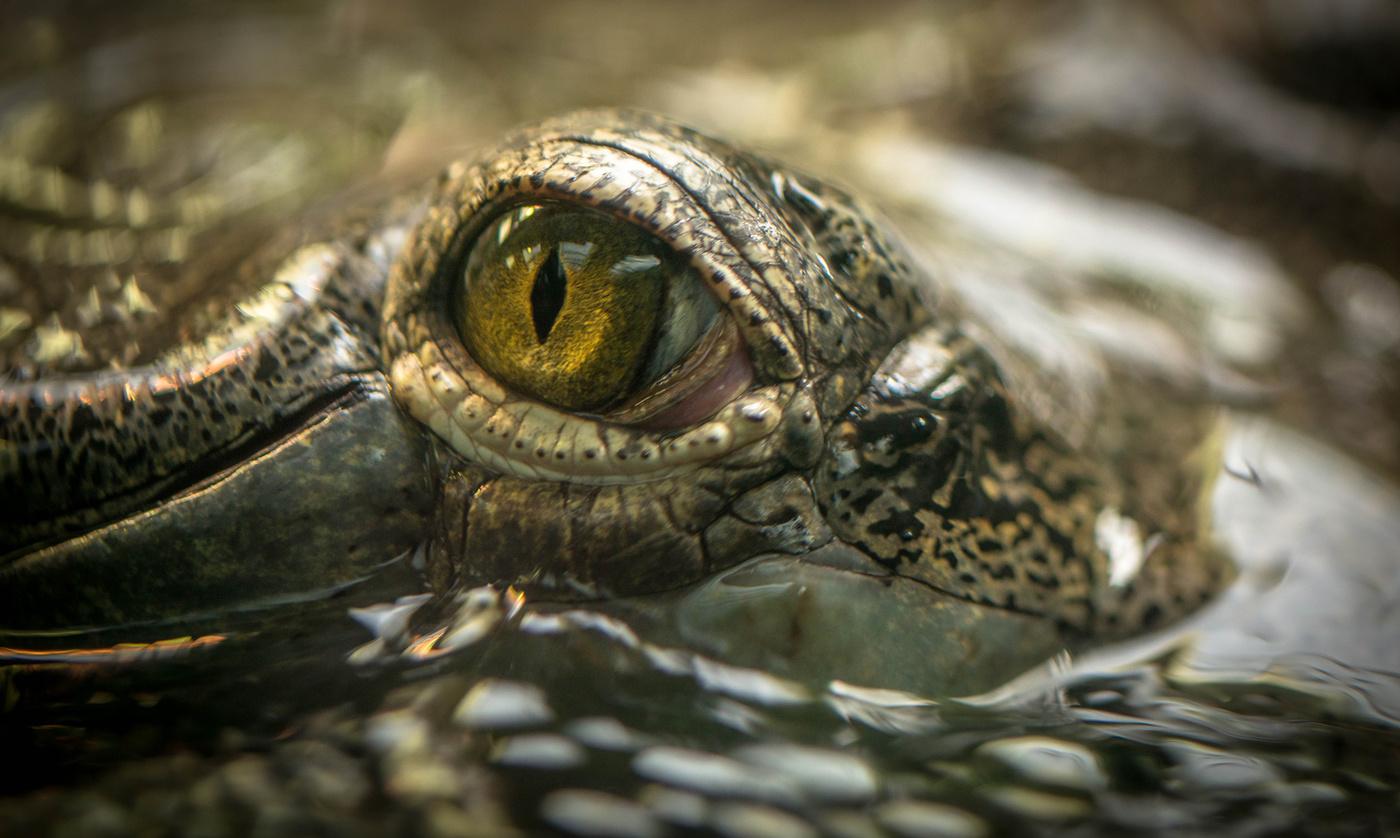 Oko gaviála
