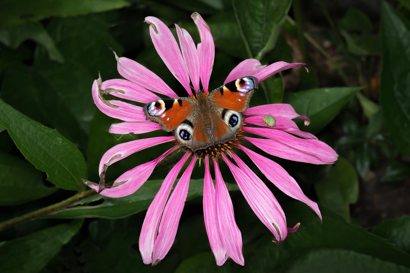 Odkvetlá květina , paví motýl a zelený bohatýr