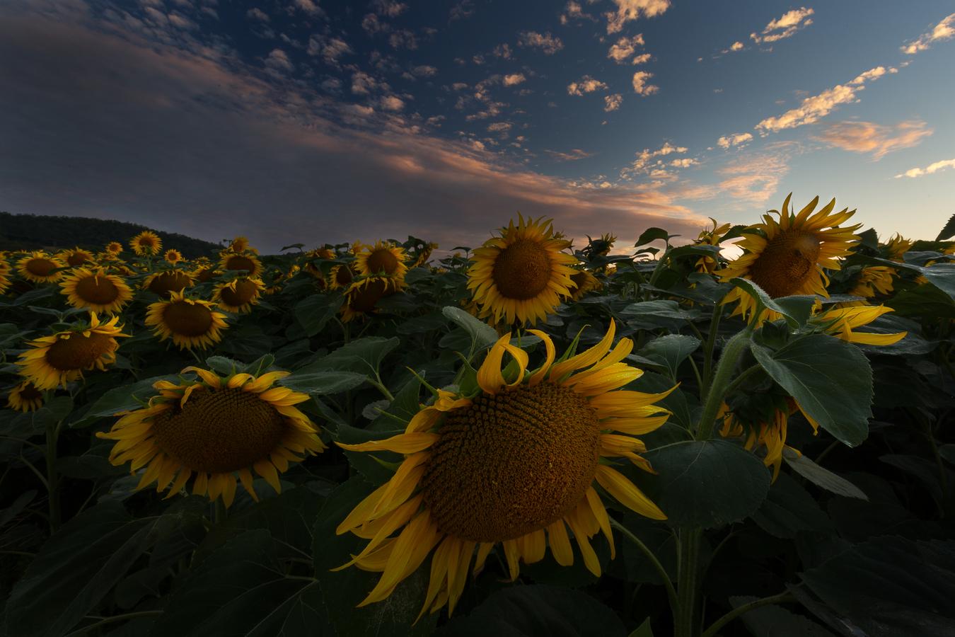 Slunečnice v ránu