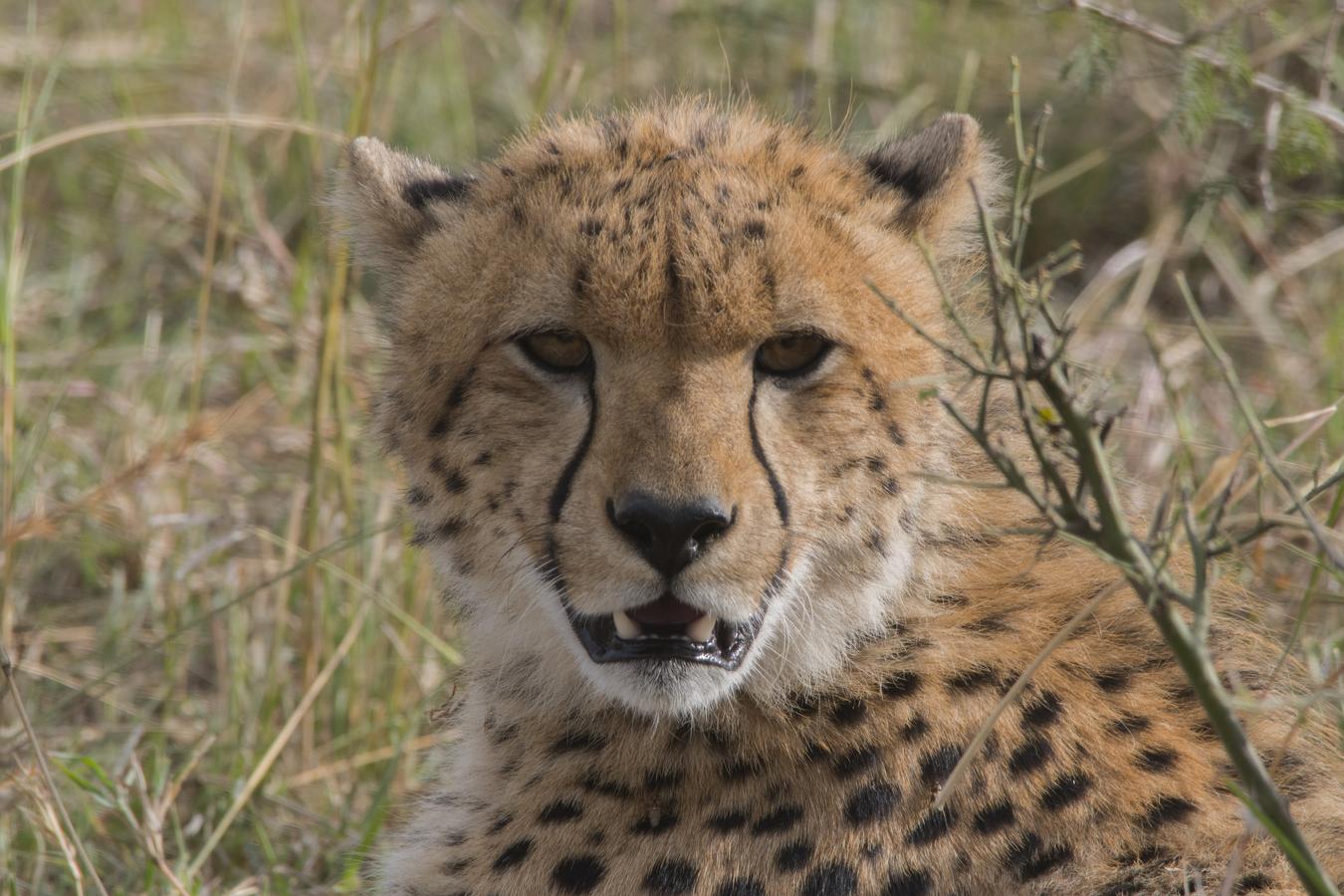 Mladý gepard