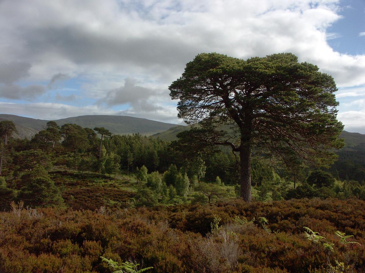 Borovice v Glen Affric, Skotsko