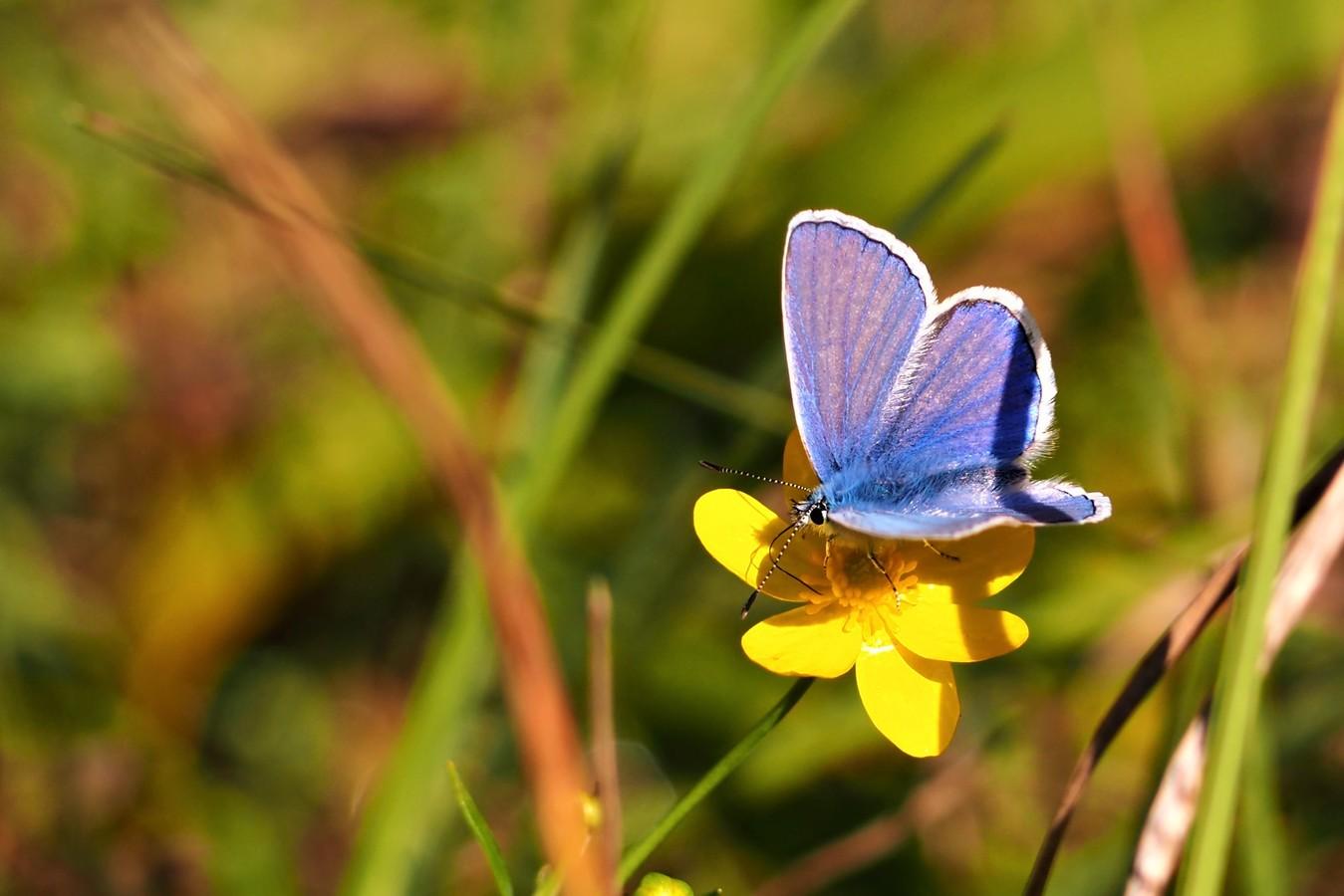 Modrá na žluté