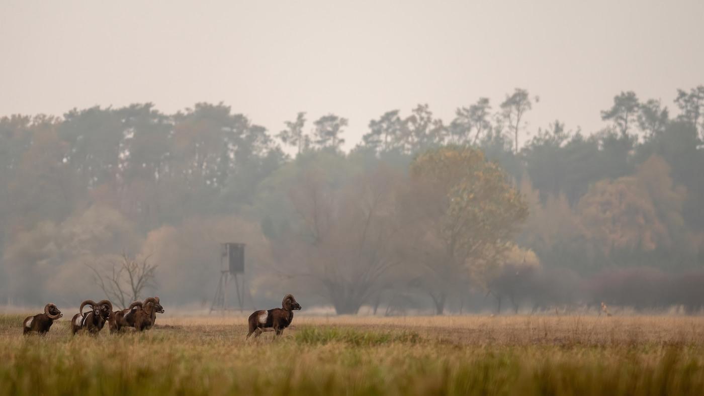 Mufloni v krajině