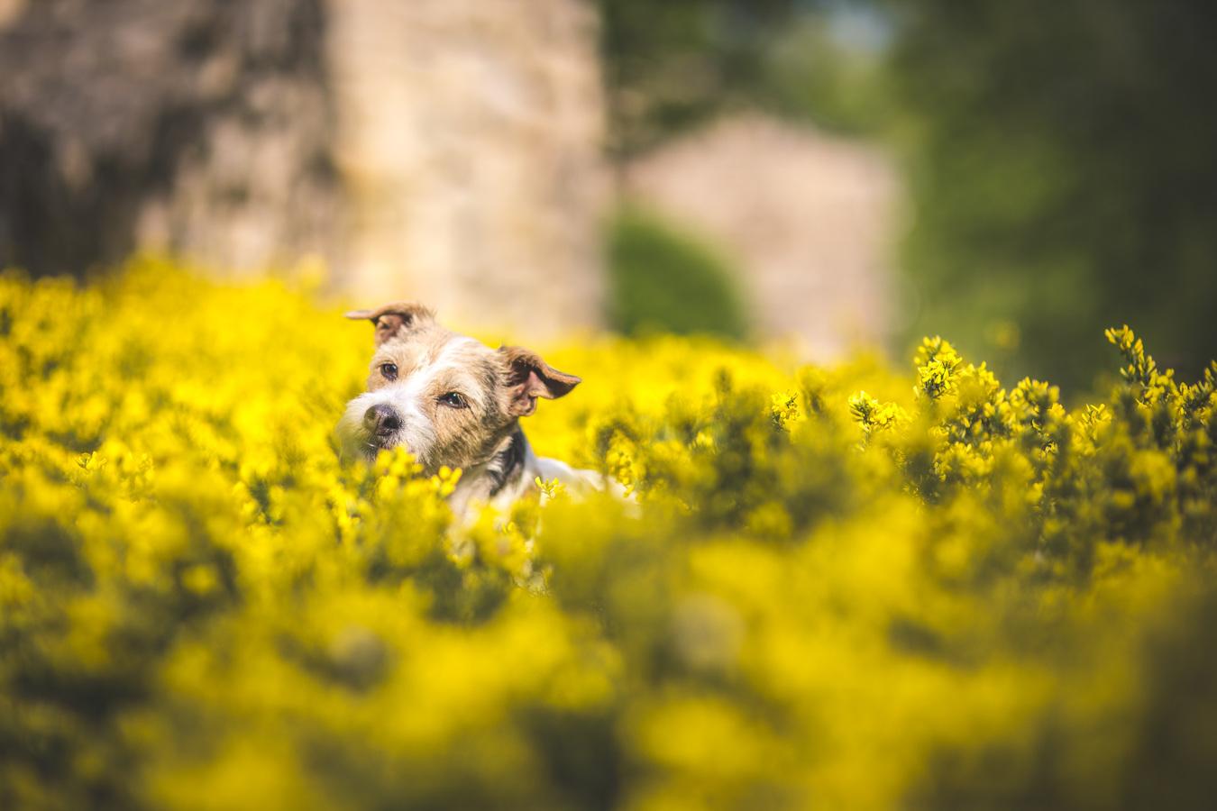 Pes je radostný...