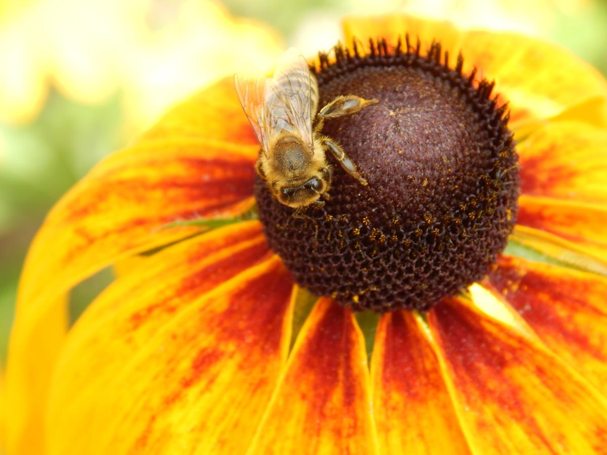Květina Růdzbekie a včelička