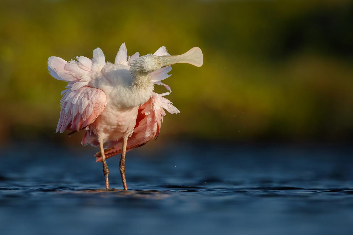Kolpík růžový | Florida