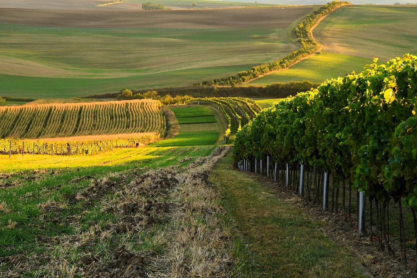 vinohrady u Šardic