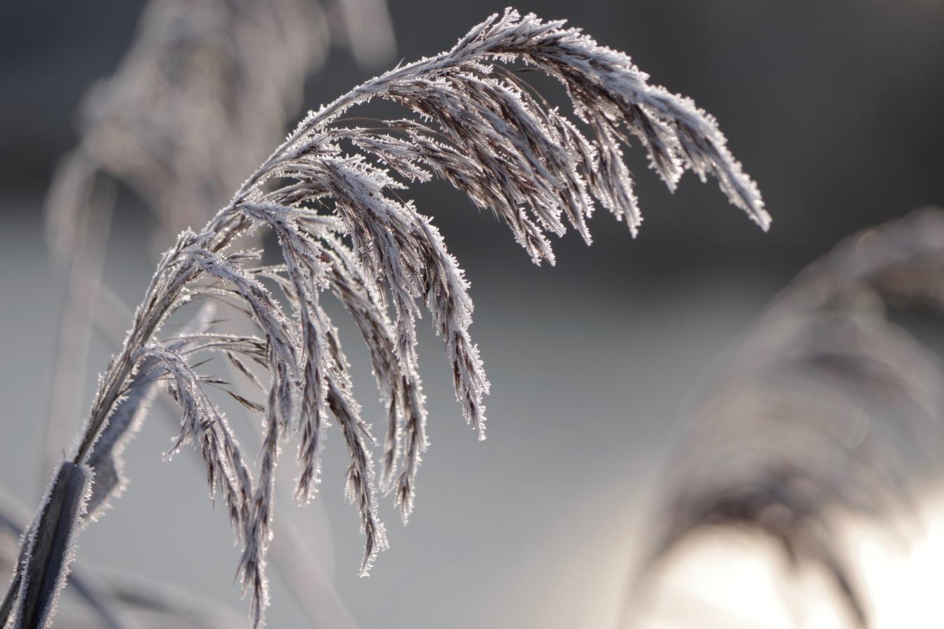 namrzlá tráva