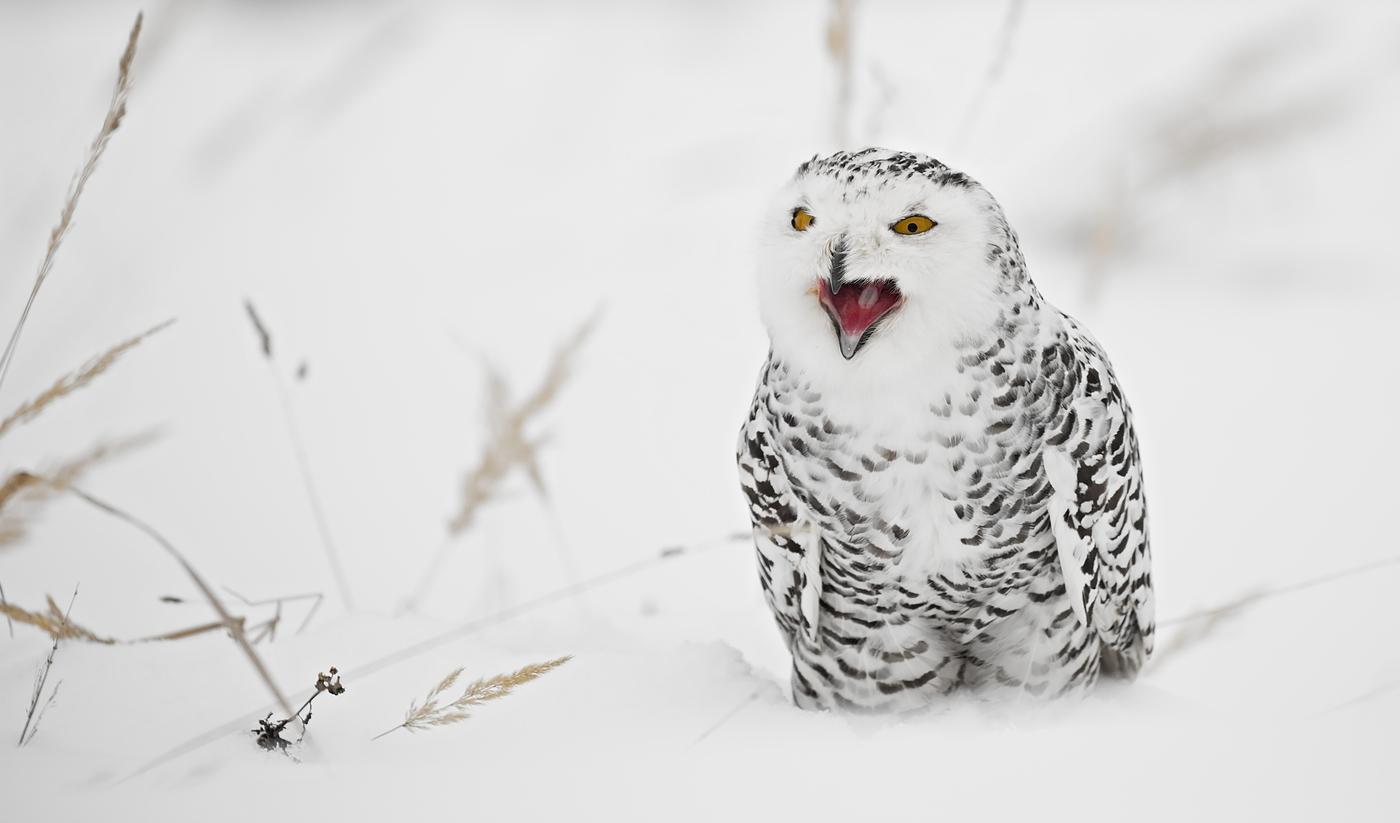 Sovice sněžní