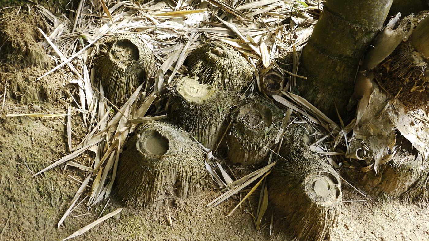 Bambusové pařezy