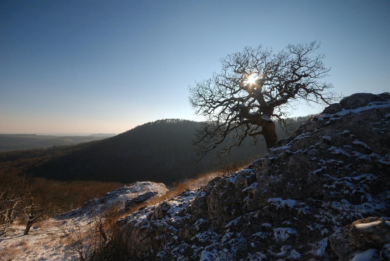 Pálavské stromy 9 - Král