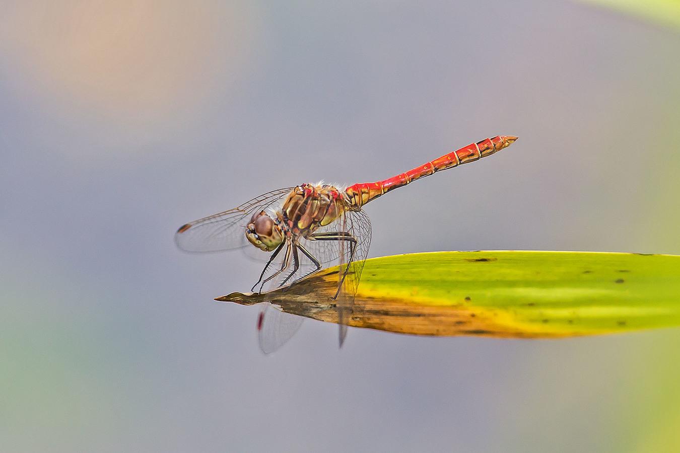 Vážka obecná