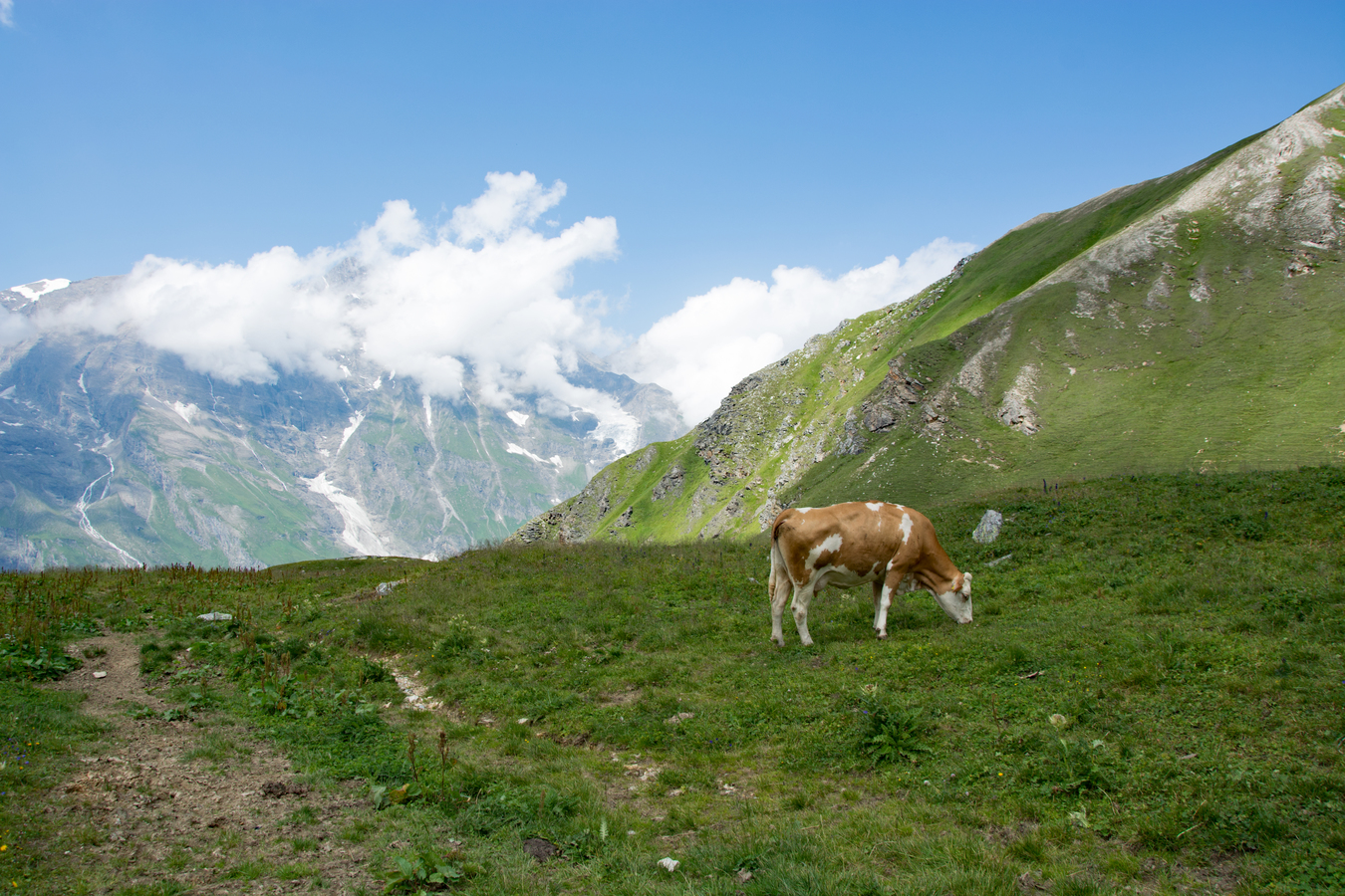pravá alpská Milka