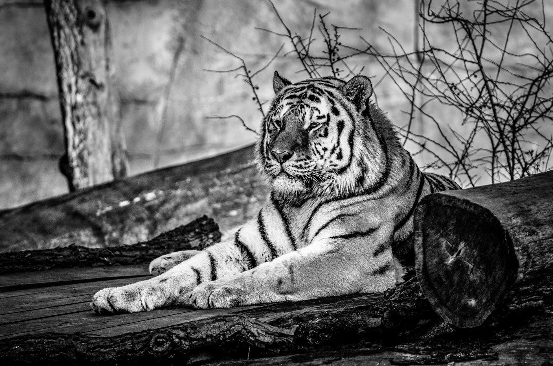 Tygr ze ZOO HLUBOKÁ...