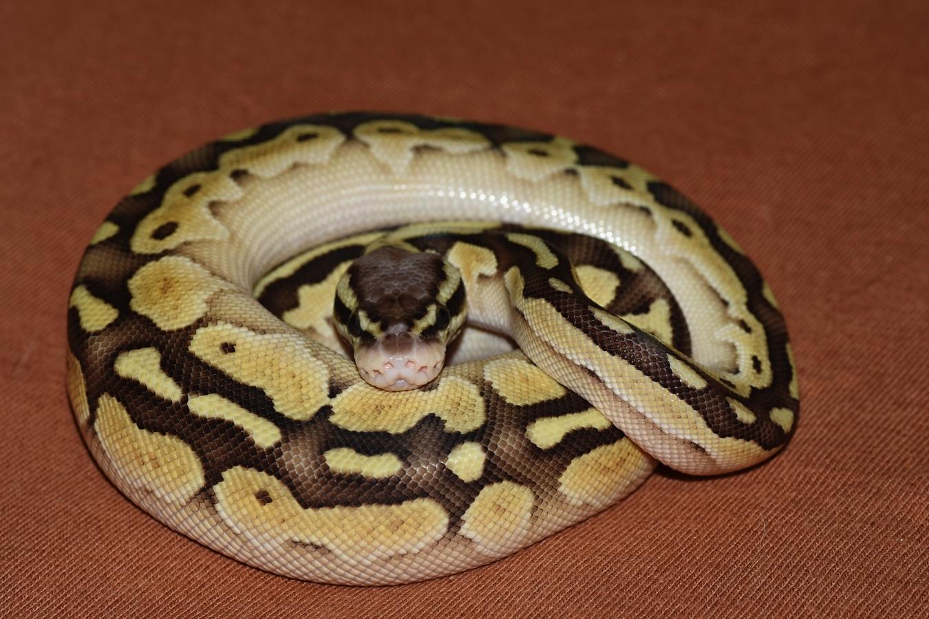 Python regius - Pastel Butter 100% het Ghost